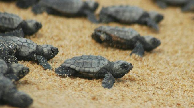 Sea Turtles Dalyan Turkey